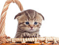 Funny lop-eared baby Scottish kitten inside basket Royalty Free Stock Images