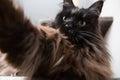 Funny main coon cat doing selfie