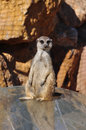 Funny meerkat animal standing on hind legs Stock Images