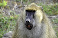 Funny monkey face in Africa Royalty Free Stock Photos