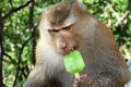 Funny monkey with ice cream eating Stock Image
