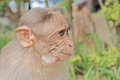 Funny monkey taken in Peruyar Royalty Free Stock Image