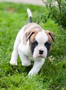 Funny nice red American Bulldog puppy on nature