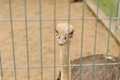 Funny ostrich in zoo looking at the camera Royalty Free Stock Photo