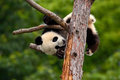Funny Panda Bear. Comical young Panda Bear on the tree. Lying cute young Giant Panda feeding feeding bark of tree. Sichuan Giant Royalty Free Stock Photo
