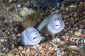 Funny peppercorn moray eels look out from a hard coral pinnacle close up underwater photo Royalty Free Stock Images