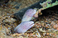 Funny peppercorn moray eels look out from a hard coral pinnacle close up underwater photo Stock Images