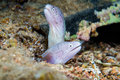 Funny peppercorn moray eels look out from a hard coral pinnacle close up underwater photo Stock Photography