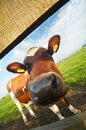 Funny picture of a baby cow Stock Photo
