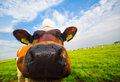 Funny picture of a baby cow Stock Images