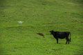 Funny picture modern RC Drone Quadcopter with camera flying on green field in front of a curious cow Royalty Free Stock Photo