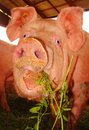 Funny pig face Stock Photo