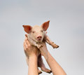 Funny piglet white in girls hands in sky Royalty Free Stock Photography
