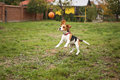 Funny Playful Beagle Dog Royalty Free Stock Photo