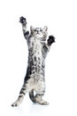Funny playful cat is standing Royalty Free Stock Photo