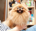Funny pomeranian sits on hands fluffy at the mistress Stock Photo