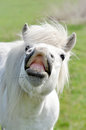 Funny pony portrait of a white Stock Photography