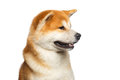 Portrait of Akita inu Dog Royalty Free Stock Photo