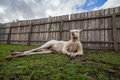 Funny portrait of albino kangaroo lying down in frivolous pose Stock Photography