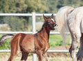 Funny portrait of arabian little foal with mom. Israel Royalty Free Stock Photo