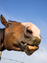 Funny portrait of brown horse Royalty Free Stock Photo