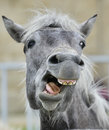 Funny portrait of a laughing horse. Royalty Free Stock Photo