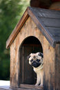 Funny pug dog in the dog house Royalty Free Stock Photo