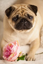 Funny pug dog lay on the bed with peony flower. Consept congratulation Royalty Free Stock Photo
