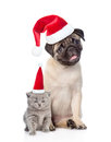 Funny pug puppy sitting and tiny scottish cat in red christmas h
