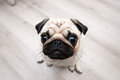 Funny pug snout fish eye soft focus distorted ridiculous proportions Stock Photos