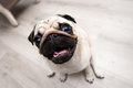 Funny pug snout fish eye soft focus distorted ridiculous proportions Stock Images