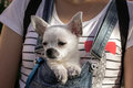 Funny puppy in the bosom of the girl Royalty Free Stock Photo