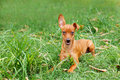 Funny puppy of miniature pinscher and pooch playing on green gra grass in yard selective focus copy space Stock Photography