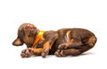 Funny puppy sleeping upside down isolated on white background Royalty Free Stock Photo
