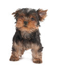 Funny puppy of the yorkshire terrier isolated on white Stock Photo