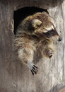 Funny raccoon in a hollow tree sitting Royalty Free Stock Photography