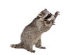 Funny raccoon standing on his hind legs isolated a white background Royalty Free Stock Photography