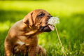 Funny Rhodesian Ridgeback puppy licking dandelion seeds Royalty Free Stock Photo