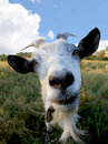 Funny Rural billy goat on the meadow Royalty Free Stock Photo