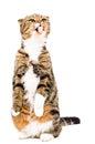 Funny Scottish Fold cat showing tongue Royalty Free Stock Photo