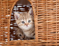 Funny Scottish kitten sitting inside wicker house Royalty Free Stock Photography