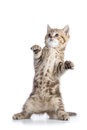 Funny scottish straight cat kitten standing isolated over white background