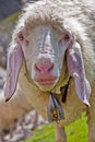 Funny sheep looking into the camera Royalty Free Stock Photo