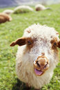 Funny sheep sticking out tongue on the green meadow Stock Images