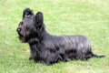 Funny Skye Terrier Royalty Free Stock Photo