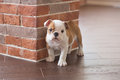 Funny sleeping red white puppy of english bull dog close to brick wall and on the floor looking to camera.Cute doggy with black no
