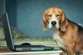 Funny Sleepy beagle dog near laptop Royalty Free Stock Photo