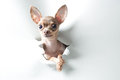 Funny small dog with big eyes and ears Royalty Free Stock Photo
