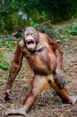 Funny smile orangutan monkey posing stay Stock Photo