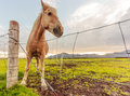 Funny smiley brown horse greeting at the fences of pasture. Sunrise background Royalty Free Stock Photo